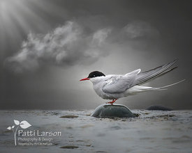 Arctic Tern in the Light