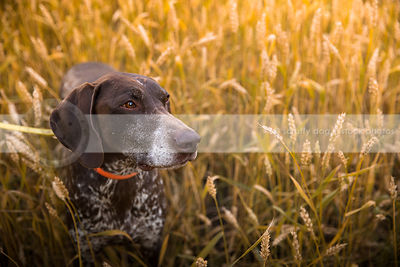 brown german shorthaired pointer dog looking away in wheat