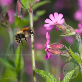 common carder bee -Bombus pascuorum