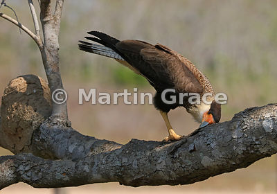 Southern Crested Caracara (Caracara plancus) cleaning its bill by rubbing it on tree bark, Northern Pantanal, Mato Grosso, Br...