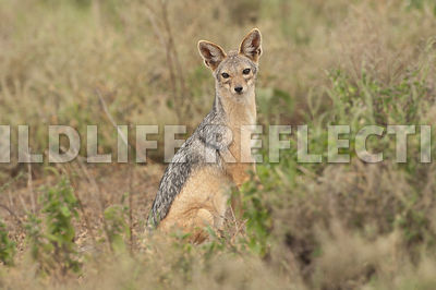 black_backed_jackal_sitting_relaxed_1
