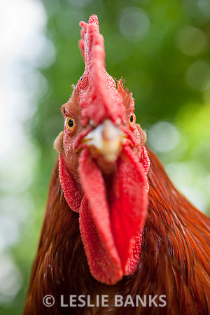 Rooster looking at camera