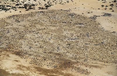 Aerial view of Socotra cormorant {Phalacrocorax nigrogularis} colony, Hawar Is, Bahrain