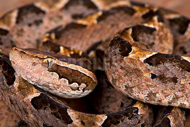 Malayan ground pit viper (Calloselasma rhodostoma)