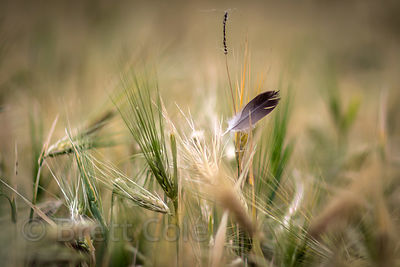 Feather in a wheat field, Leh, Ladakh, India