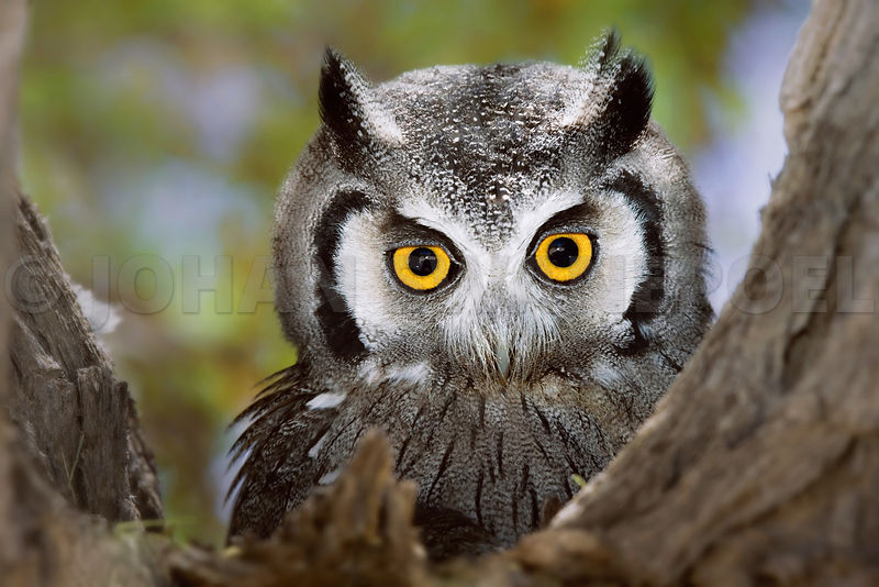 Whitefaced Owl close-up portrait in a tree