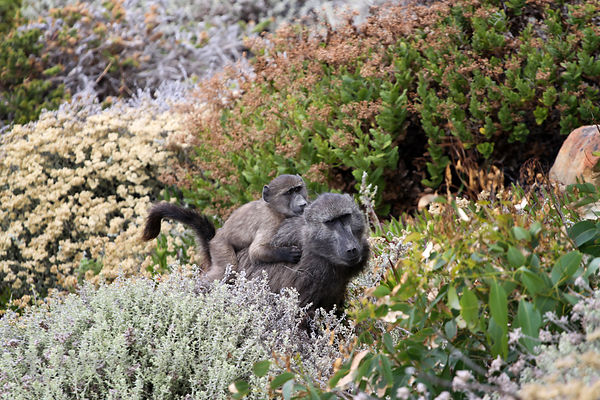 A female chacma baboon (with baby) from the Smitswinkel troop walks through a garden at a beach house near Miller's Point, Ca...