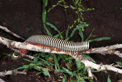 Zebra millipede, Kruger National Park, South Africa