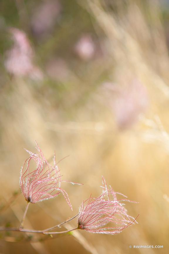 PRAIRIE SMOKE NEW MEXICO BOTANICALS