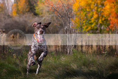 intense brown roan dog with tongue bounding in autumn meadow