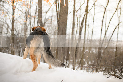black and tan dog from behind standing in winter snow and trees