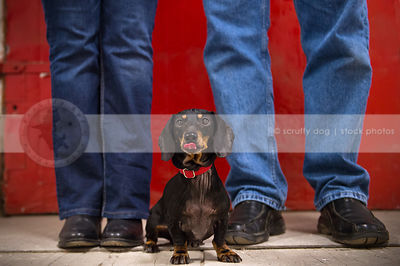 small black and tan dog with licking tongue at owners feet in studio