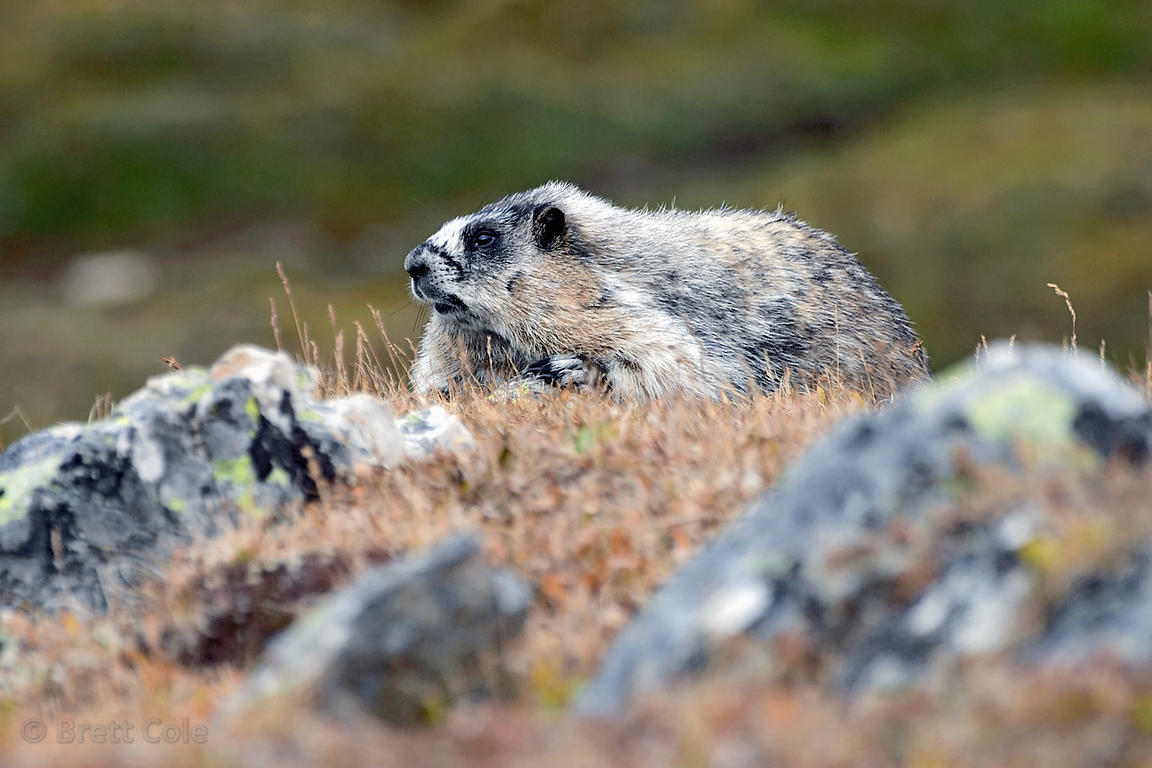 Hoary marmot doing an impression of a rock. On the banks of Helen Lake, Banff NP, Canadian Rockies.