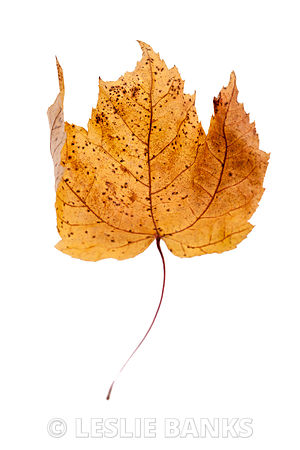 Dried brown and yellow maple leaf