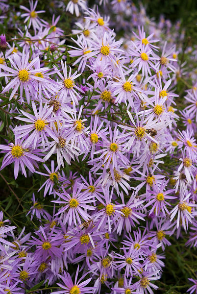 Aster pyrenaeus 'Lutetia'. Waterperry Gardens, Wheatley, Oxfordshire, UK