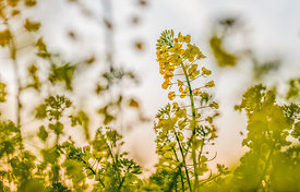 Blooming rapeseed 5