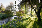 Sun breaks through trees underplanted with camassias beside a tributary of the River Avon at Heale House, Middle Woodford, Wi...