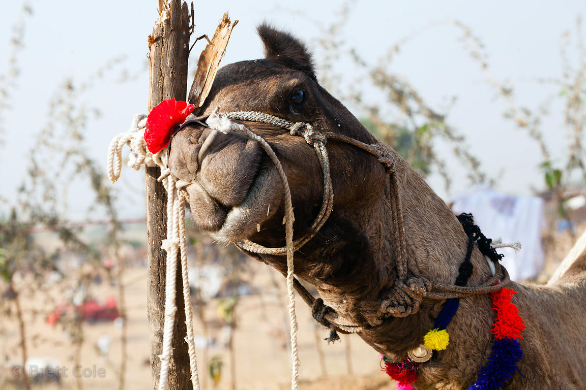 A camel with a red bow scratches itself on a post at the Pushkar Camel Mela, Pushkar, India.