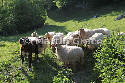 Guard dog protecting small flock of sheep in pasture, Espinama, Cantabria, Spain