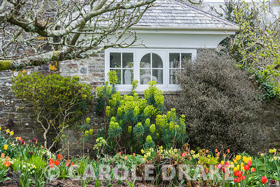 Music room with border of euphorbia and spring bulbs below. Clovelly Court, Bideford, Devon, UK