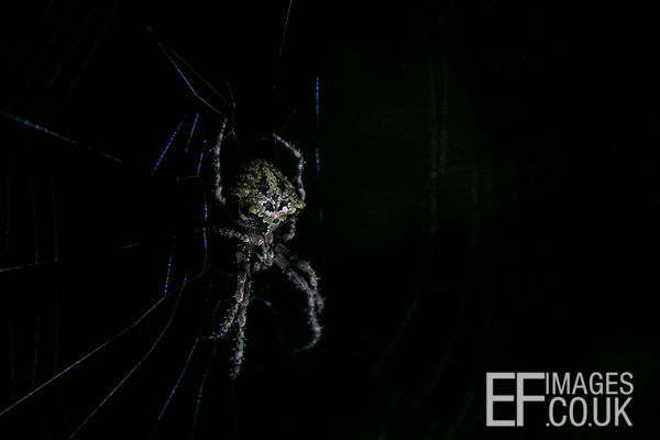 Spider At Night