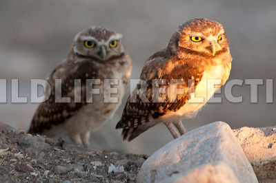 Burrowing Owl Mirror Watch 3