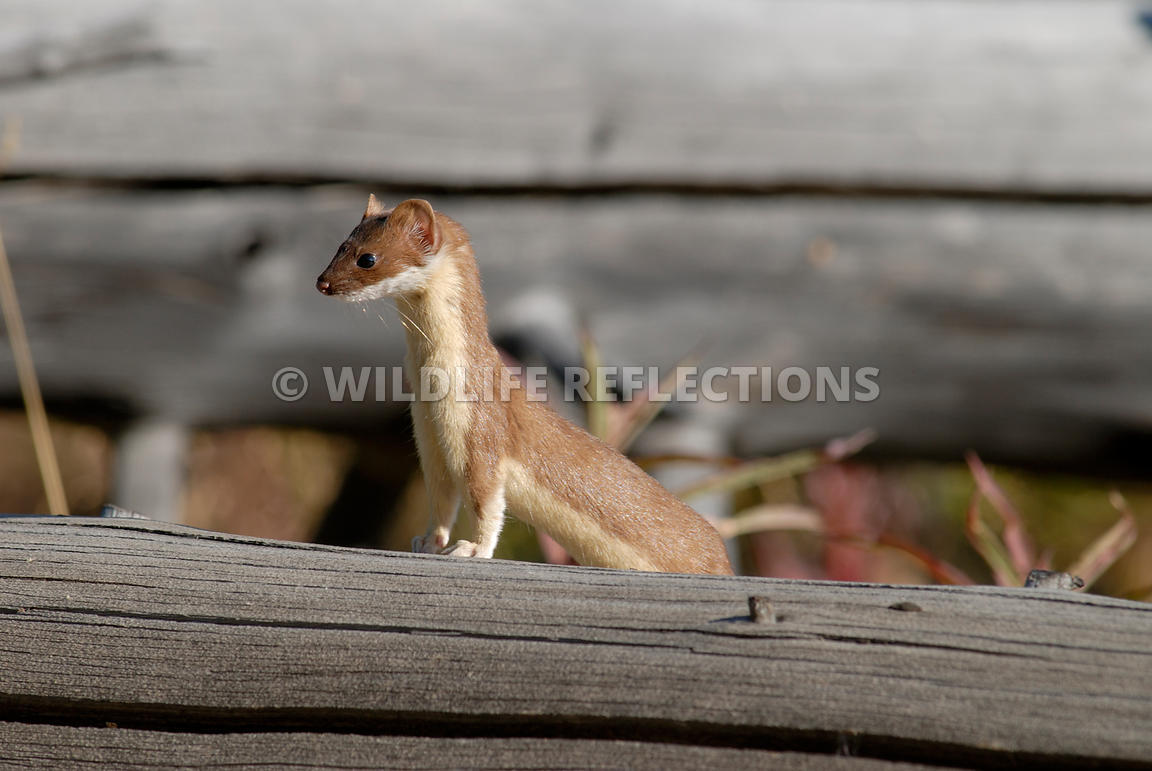 weasel_pose_on_log
