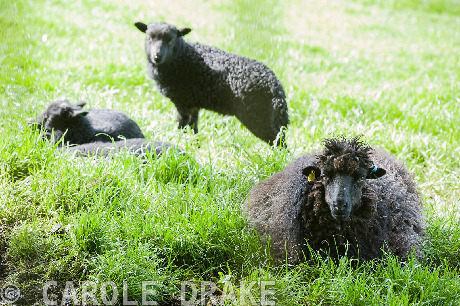 Hebridean sheep with lambs in a field adjoining the garden. Windy Hall, Windermere, Cumbria, UK