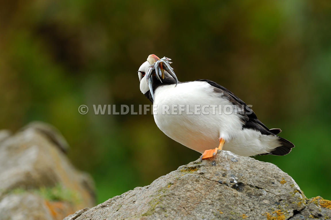 Horned Puffin With Fish Belly View 8