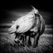 Wild horse before the rain in Iceland 2015 © Laurent Baheux