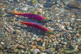 Sockeye Salmon Establishing Spawning Beds