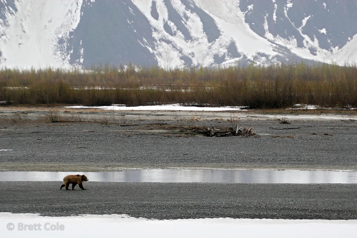 Grizzly bear (Ursus arctos horribilis), Copper River Delta, Alaska