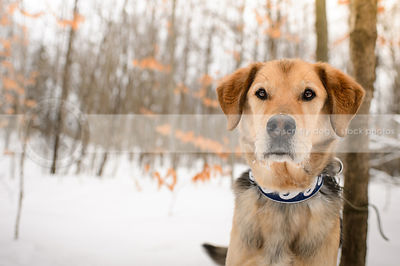 headshot of senior mixed breed dog staring from winter forest