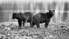 Grizzlies on Pack Creek, Alaska