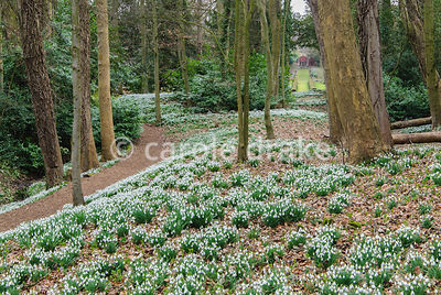 Snowdrop wood with view through to the garden and the Red House. Painswick Rococo Garden, Painswick, Glos, UK