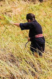 Hmong Woman Cutting Stalks of Rice for Drying in the Sun