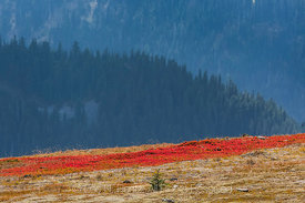 Red Huckleberry Leaves in Autumn in Olympic National Park