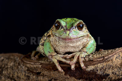 Andean marsupial tree frog  (Gastrotheca riobambae)