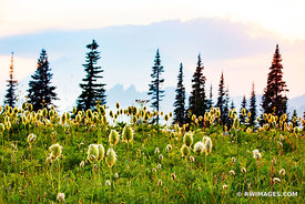 ALPINE MEADOW SUMMER WILDFLOWERS MOUNT RAINIER NATIONAL PARK WASHINGTON COLOR