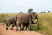African elephant with baby crossing the road, Loxodonta africana africana, Murchison Falls National Park, Uganda