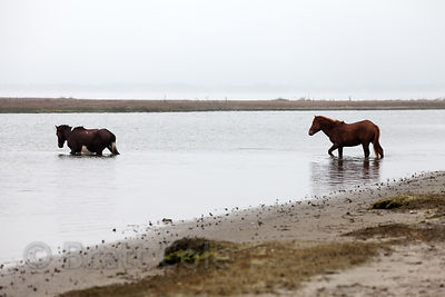 WIld horses (Equus ferus caballus) swimming between small islands in Sinepuxent Bay, Assateague Island, Maryland