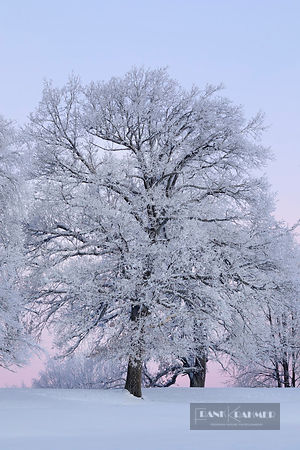 Oak snow covered in winter (lat. quercus) - Europe, Germany, Bavaria, Upper Bavaria, Munich, Straßlach, Großdingharting, Beig...