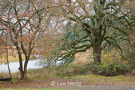 Oregon White Oak (Quercus garryana) covered with lichens and mosses, and another tree in the last autumn color, Ridgefield Na...