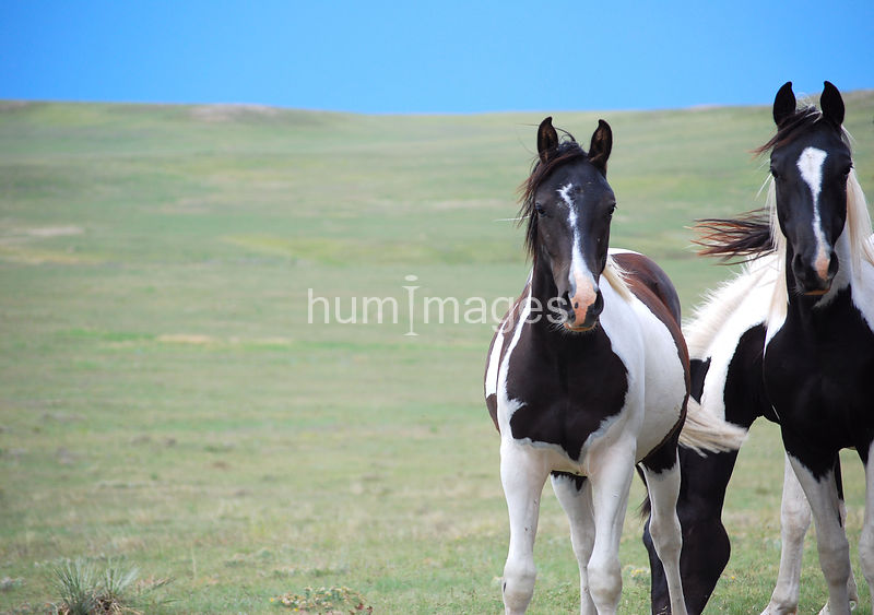 Two black and white paint horses looking at camera