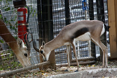 Speke's Gazelle (Gazella spekei), smallest Gazelle, National Zoo, Washington, D.C.