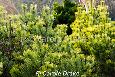 Pinus mugo 'Ophir'. The Sir Harold Hillier Gardens/Hampshire County Council, Romsey, Hants, UK