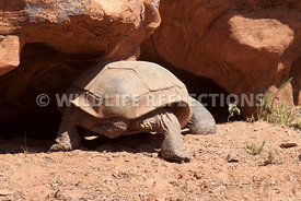 tortoise_into_its_lair