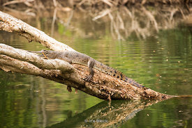 A freshwater crocodile on the Ord River in Australia's Kimberley.