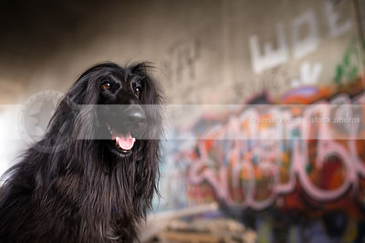 headshot of longhaired afghan hound dog at urban graffiti wall