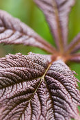 New bronze leaves of Rodgersia podophylla. Minterne, Minterne Magna, Dorchester, Dorset, DT2 7AU, UK